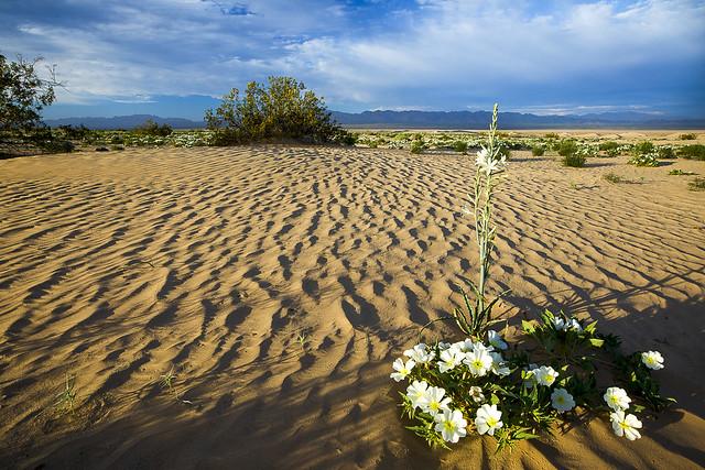 Cadiz Dunes Wilderness