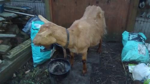 goats Mar 17 (17)