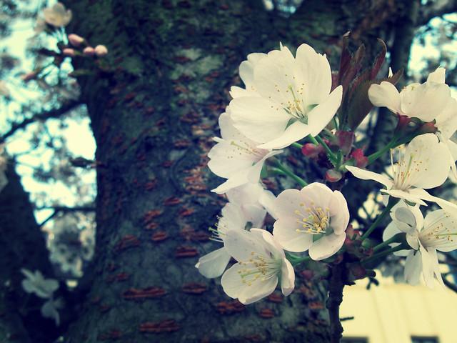 il fleurit
