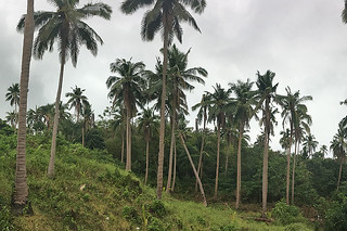 Sibale island - San Vicente coconuts