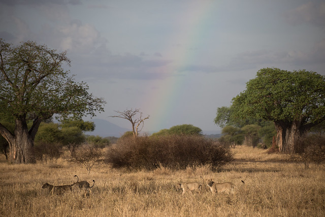 Lions Beneath a Rainbow at Sunset