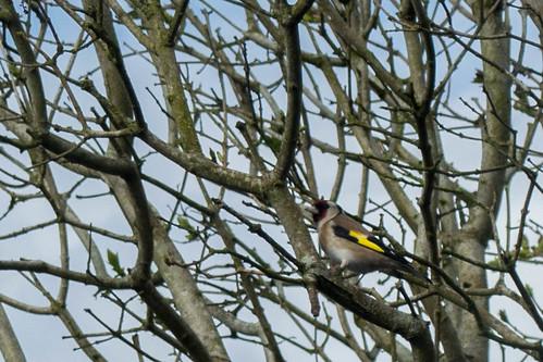 2017-04-01 Goldfinch