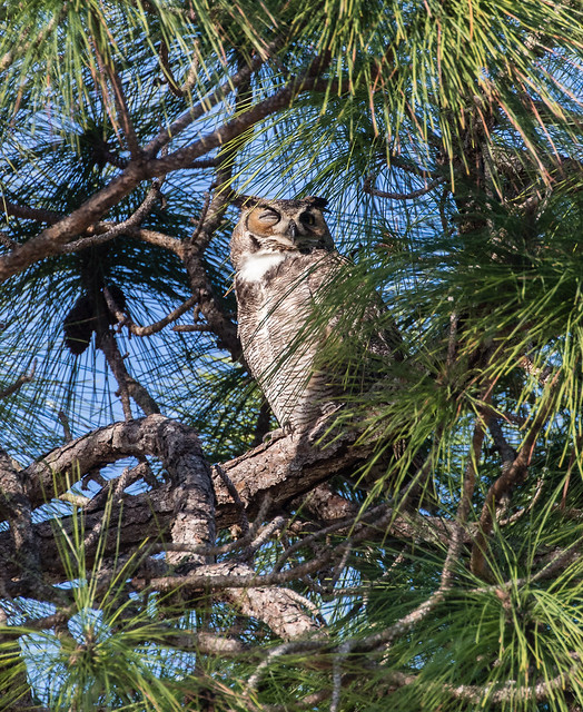 Great Horned Owl 095a_2471