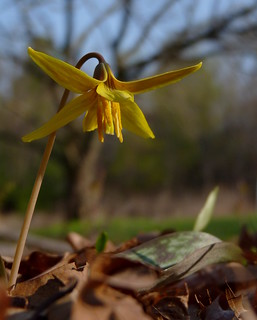 Yellow Trout Lily | by Dendroica cerulea