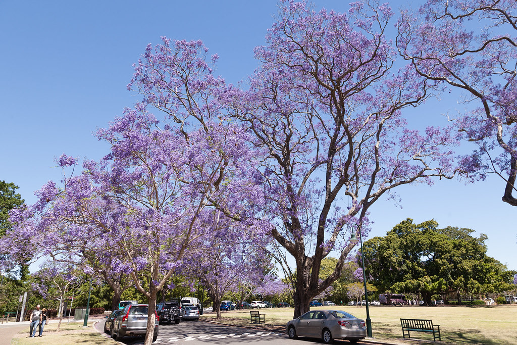 15/10/14: Jacaranda's in New Farm Park