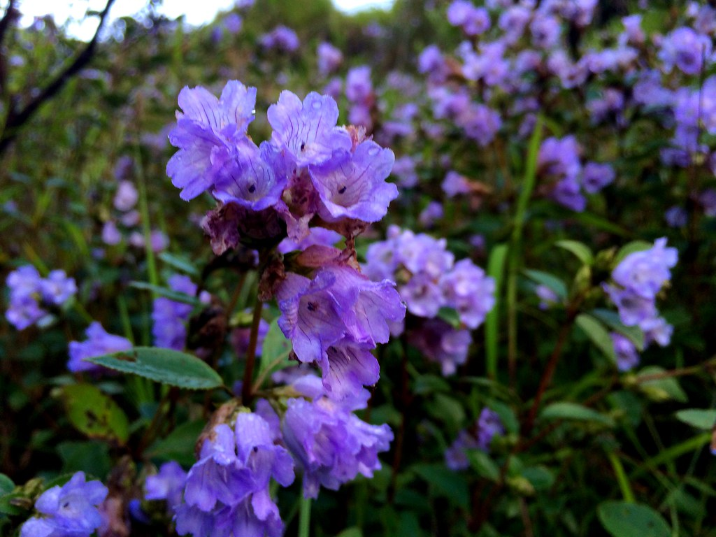 Image result for neelakurinji