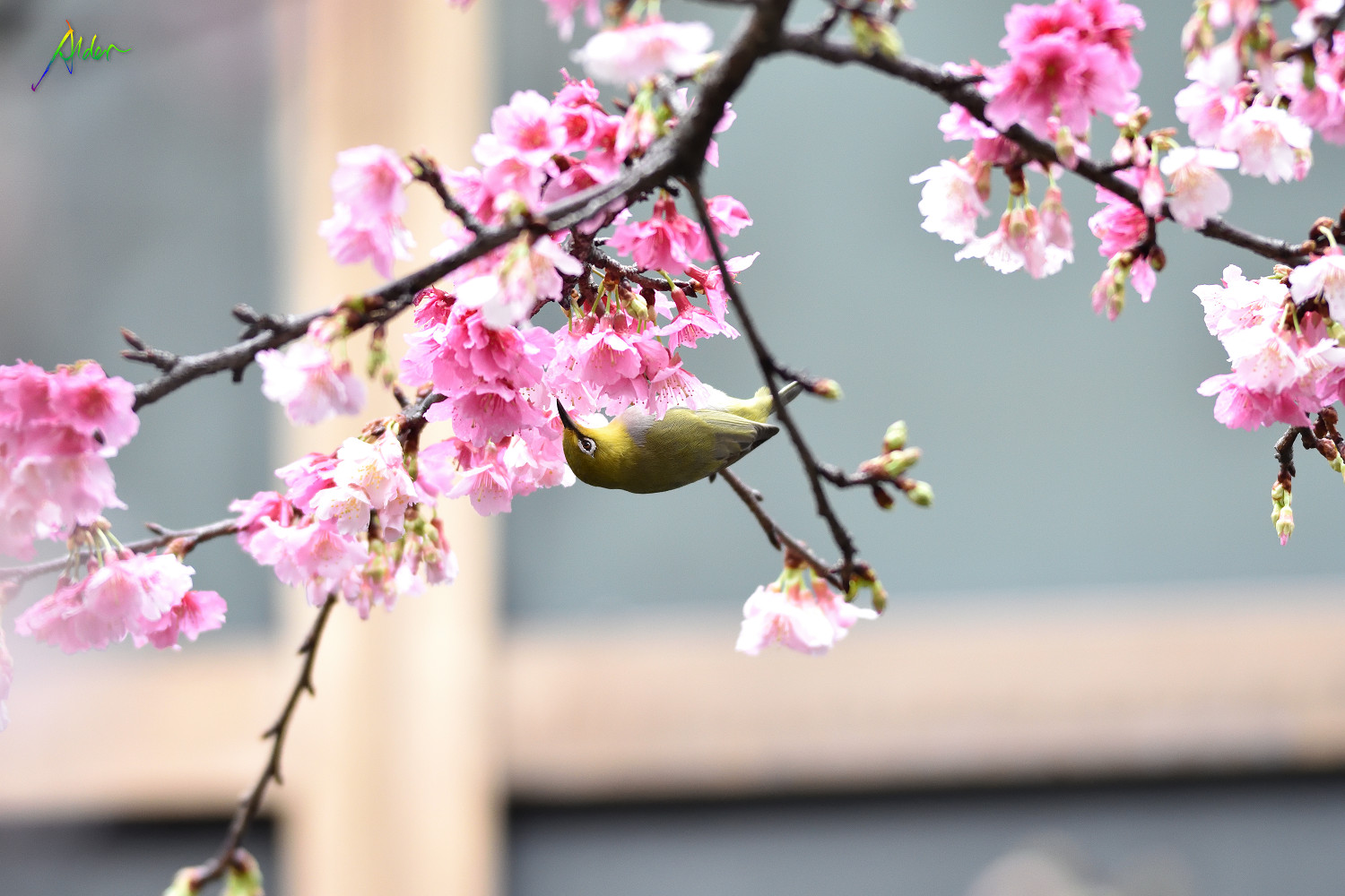 Sakura_White-eye_7965