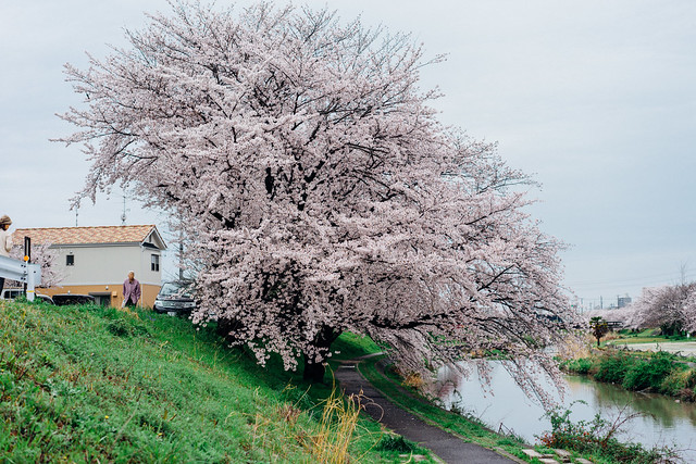 CherryBlossoms_10