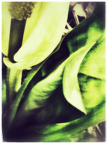 Yellow Skunk Cabbage flower in Snapseed