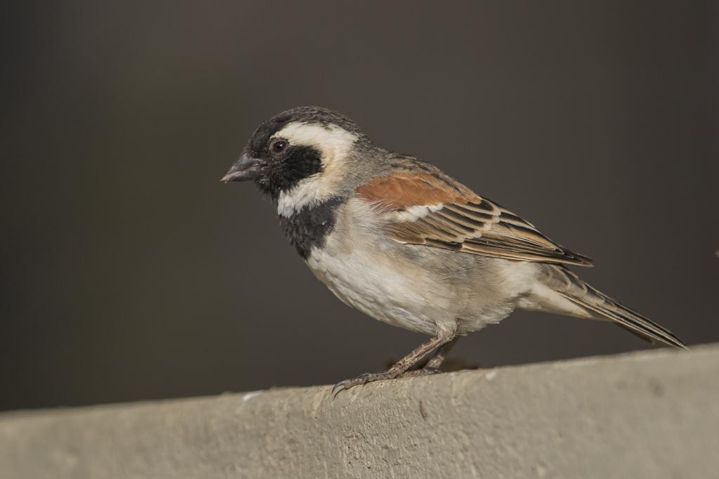 Cape Sparrow Passer Melanurus