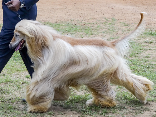 Afghan Hound | by Wings and Petals