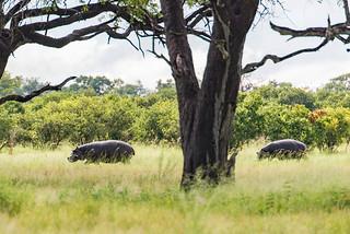 Hippos in der Linyanti-Region