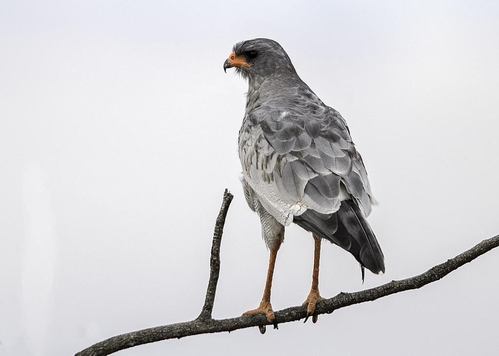 Pale Chanting Goshawk  Melierax Canorus