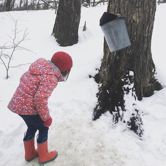 Maple Sugaring time! (It's actually way too cold - the sap is frozen in all of the buckets!)