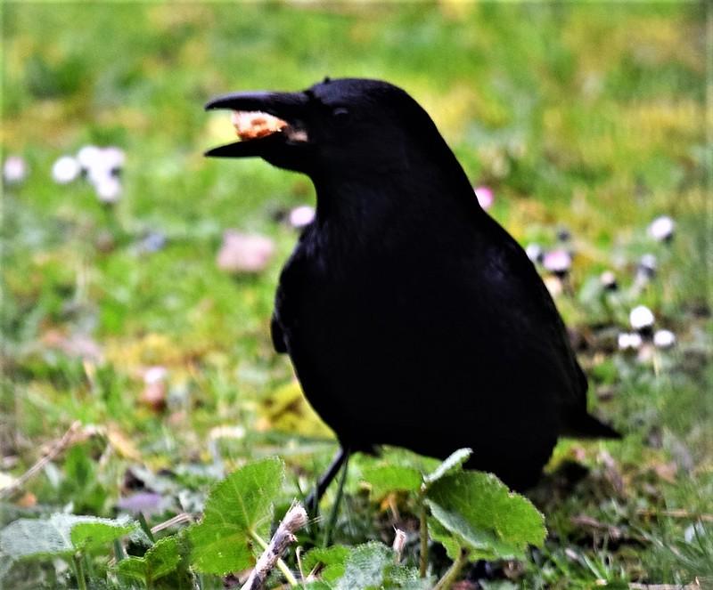 Crow 18.03 (4)