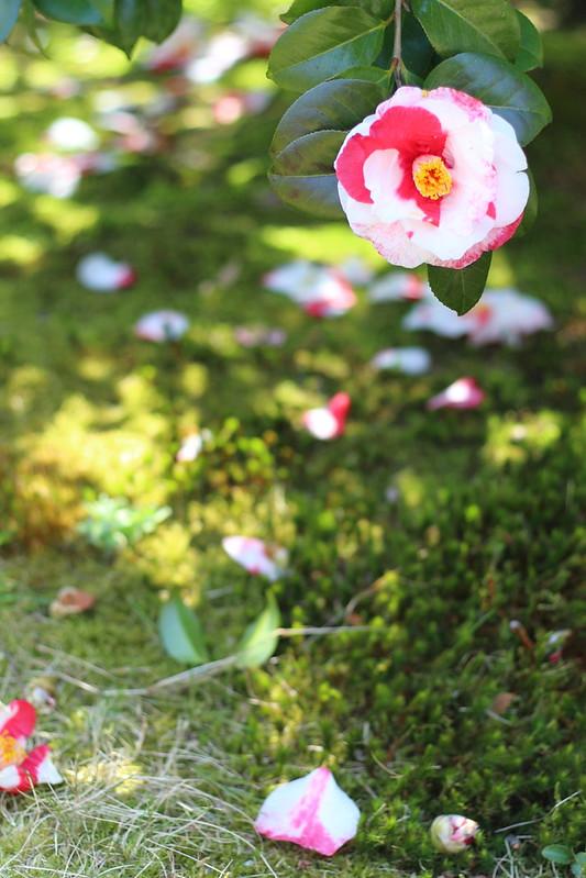 椿|camellia