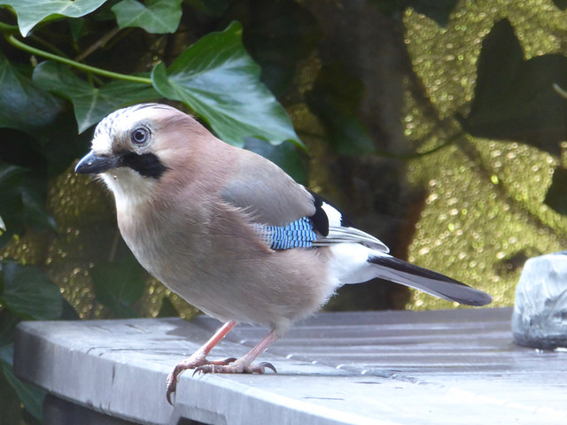 The Return of the Mama Jay - Please zoom in ;-)