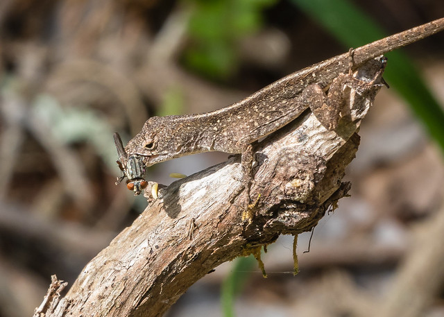 Lizard with fly 098_94