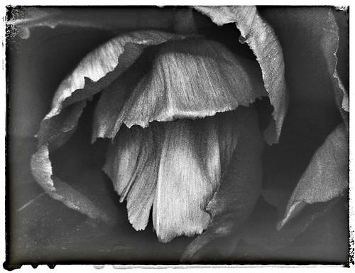 dark peony in Snapseed