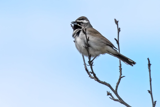Black-Throated-Sparrow-12-7D2-032717