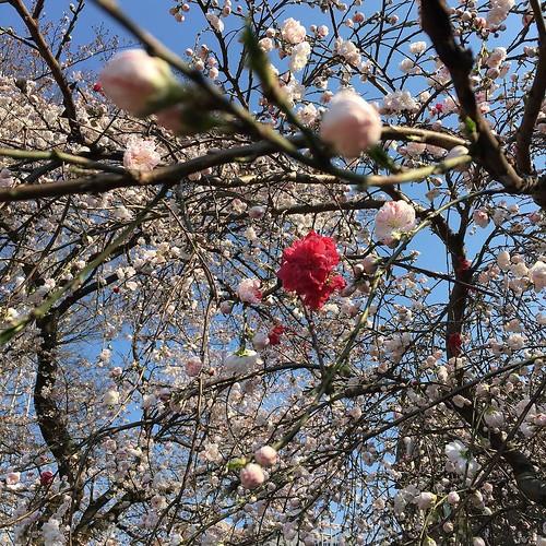 紅白混じりの。桃の花だそうで。