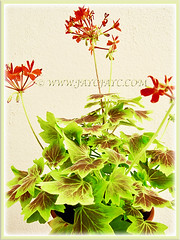 Our potted Geranium (Cranesbills) with orange flowers and mesmerizing variegated leaves, 2 Nov 2013