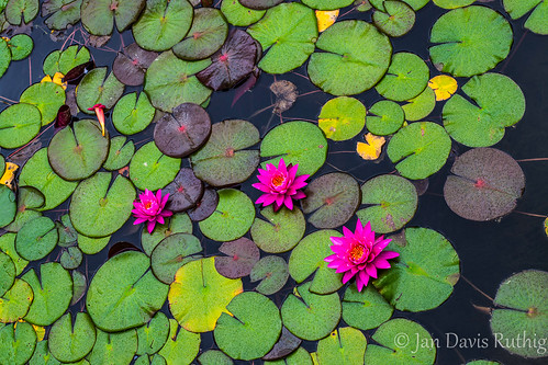 MI_GR_Meijer_Gardens_WaterLily-6124.jpg | by Jan Davis Ruthig