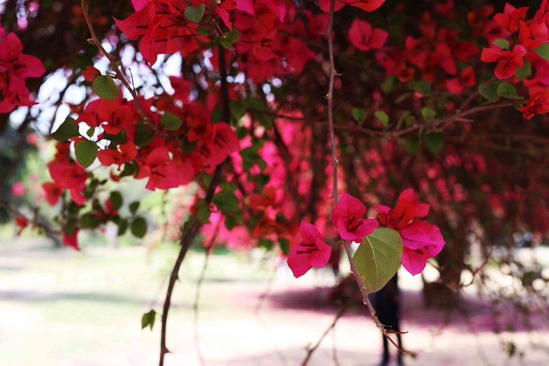 City Season - Spring Bloom of Two Bougainvillea Trees, Lodhi Garden