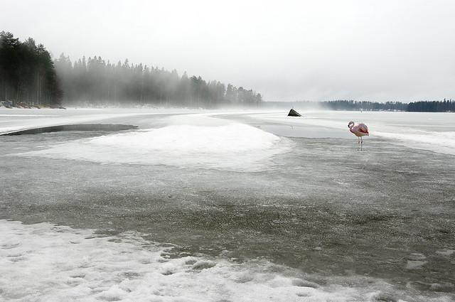 Kevätseuranta Flamingo bongattu Kanta-Hämeessä. Valokuvaaja: Markus Kauppinen
