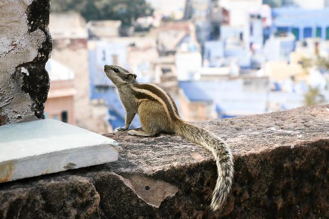 A squirrel in Mehrangarh Fort, Jodhpur, India ジョードプル メヘラーンガル・フォートのリス