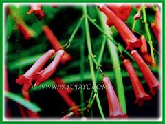 Russelia equisetiformis (Firecracker Plant, Coral Fountain/Plant, Fountain Plant, Coralblow) with beautiful tubular-shaped flowers, 8 April 2017