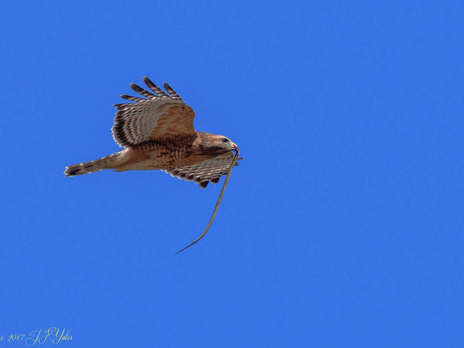 Red Shouldered Hawk with snake