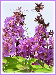 A purple-coloured flowering Lagerstroemia speciosa (Giant crape-myrtle, Queen's crape-myrtle, Queen's Flower, Pride-of-India), 11 April 2011