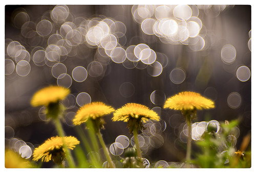 Dandelions by the Waterside | by Paulemans