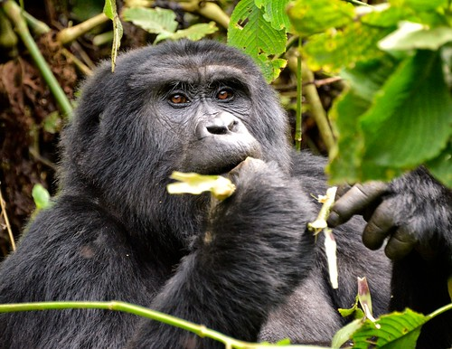 Mountain Gorilla, Bwindi, Uganda | by Rod Waddington