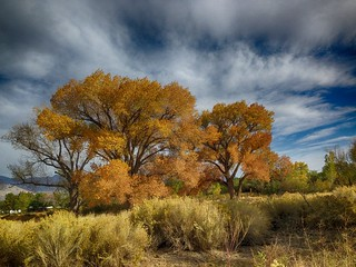 2014/365/290 Glowing Cottonwoods | by cogdogblog