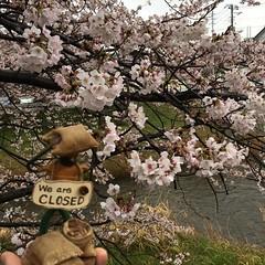 遅咲きの桜とMr.ホリディ in Rain