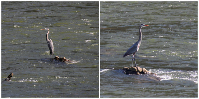 IMG_10027a_34a_Herons_at_Douglas_Dam_Collage