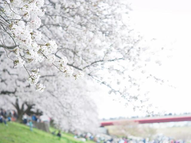 Cherry Blossoms in Sewaritei 3 (GXR Mount A12 + Jupiter-3 50mm F1.5)