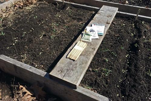 planting peas IMG_0512
