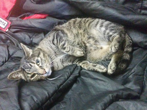 Shakespeare, caught in bed #toronto #catsofinstagram #caturday #shakespeare