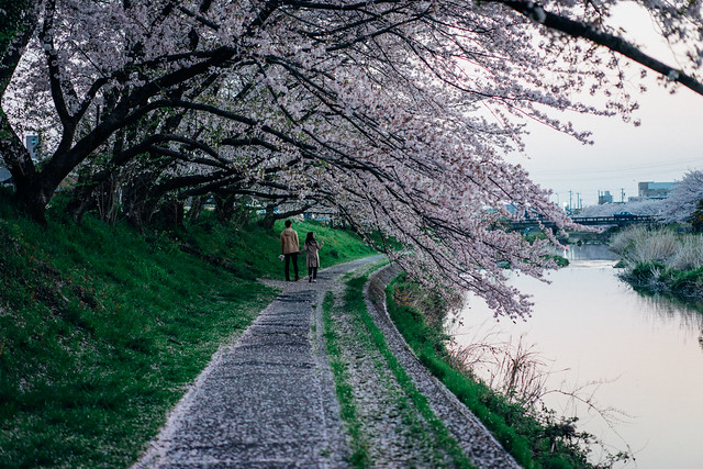 CherryBlossom_01