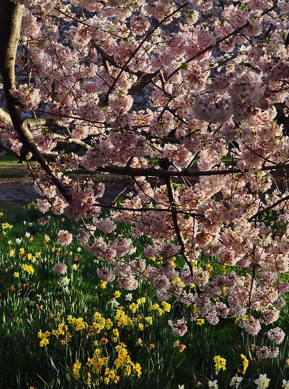 Prunus x yedoensis 2