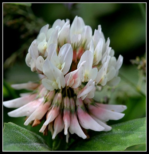 Trifolium repens - trèfle rampant 34114958056_348c0fe5a9