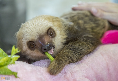 Hoffmann's two-toed sloth Gamboa Wildlife Rescue pandemonio 2017 - 11 | by Eva Blue