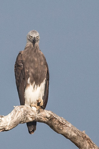 Grey-headed Fish-eagle
