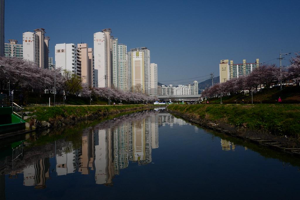 溫泉川櫻花