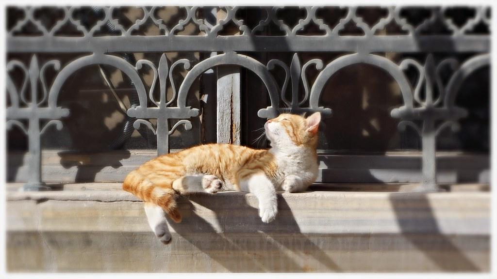 red cat at Sultanahmet camii, Istanbul.