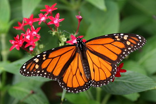 October Monarch | by TexasEagle