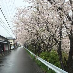 4月11日の桜 雨